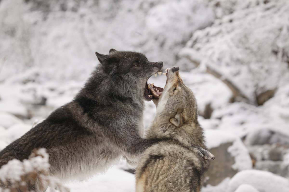 animal fight club national geographic for everyone in everywhere
